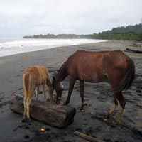 Wild horses on the beach in Costa Rica