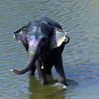 Indian Elephant taking a bath, India