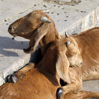 Friendly goats in India